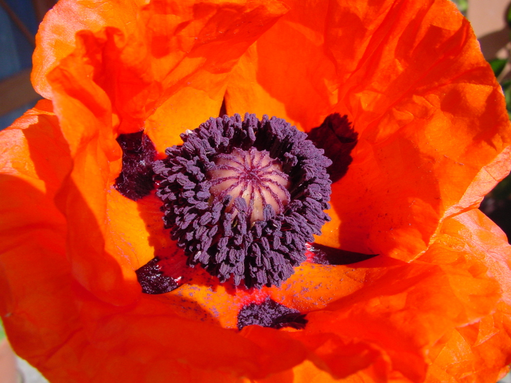 Wild poppy (not the opium kind)