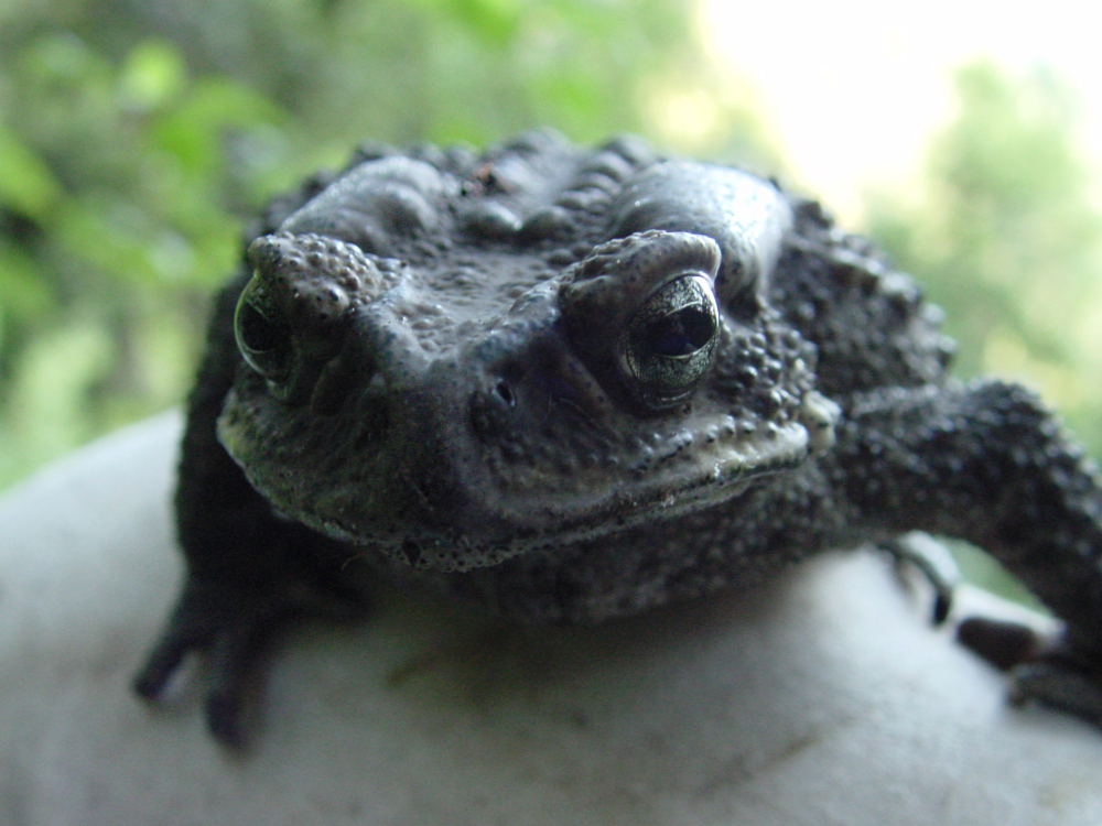 Mister Toad - up close and ugly!