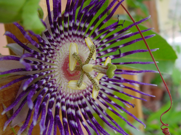 Passion Flower (Passiflora) in my Himalayan garden