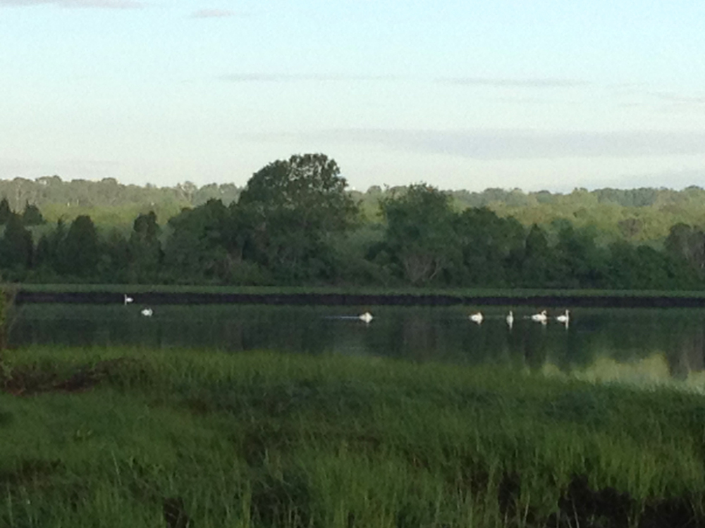 Swans in the morning