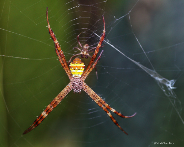 Micro : Mating spiders (2)