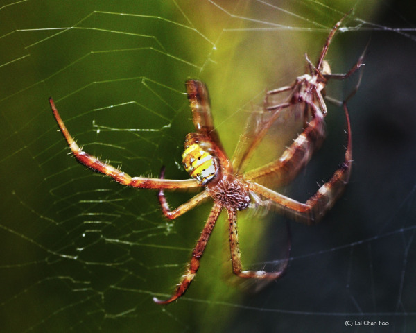 Mating Spiders