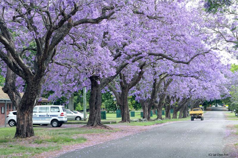 Jacaranda blossom in Drafton Australia