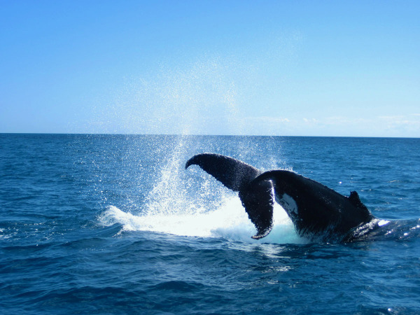 Humpback Whales playing with the tourist boats