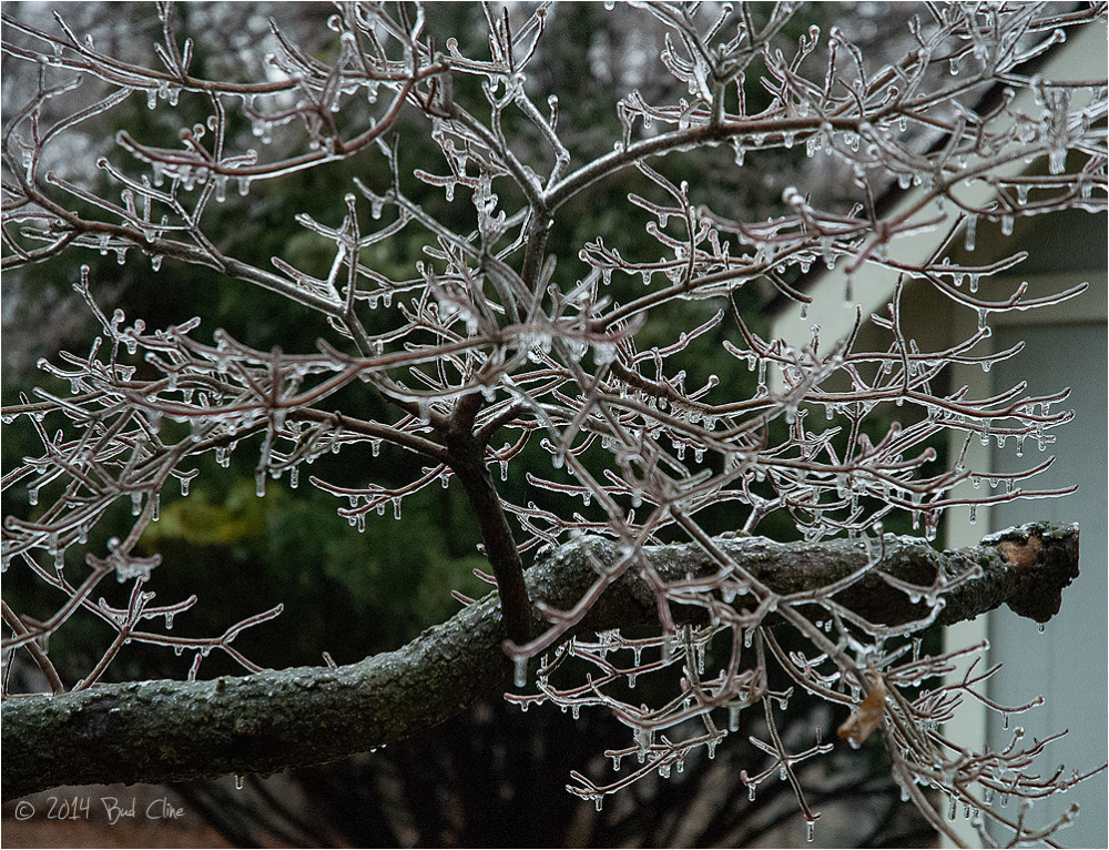 Ice Storm - Dogwood Tree