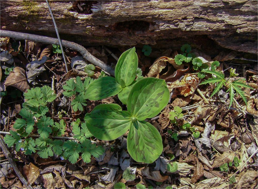 wildflower plants