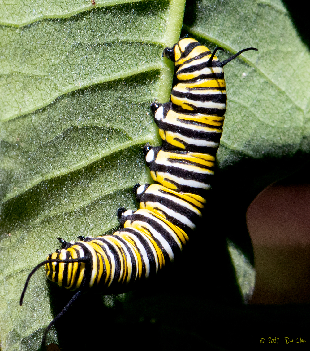 Monarch Butterfly Caterpillar J4