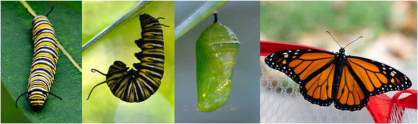 Monarch butterfly metamorphosis