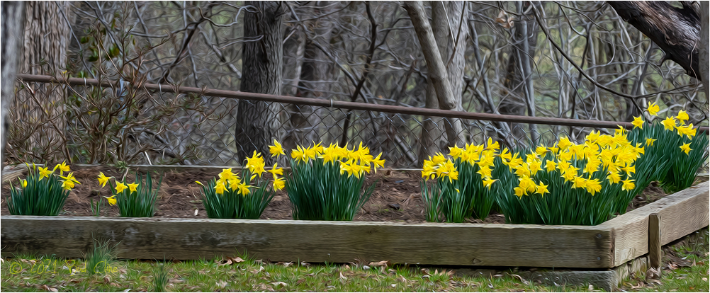 Oil Paint rendering of my daffodils this Spring