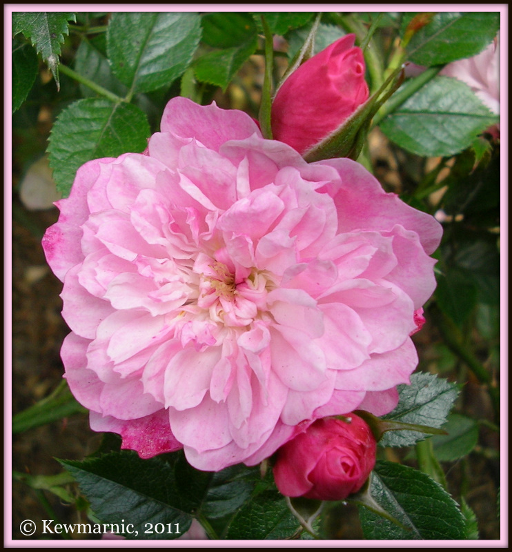 The Rose Still Blooms