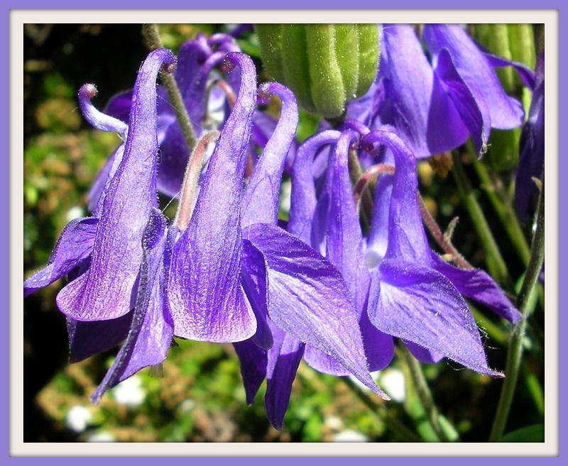 Silken, Bell Shaped, Mauve Flowers