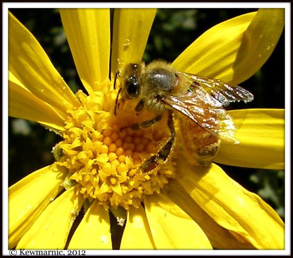 Bee On Yellow Daisy Flower