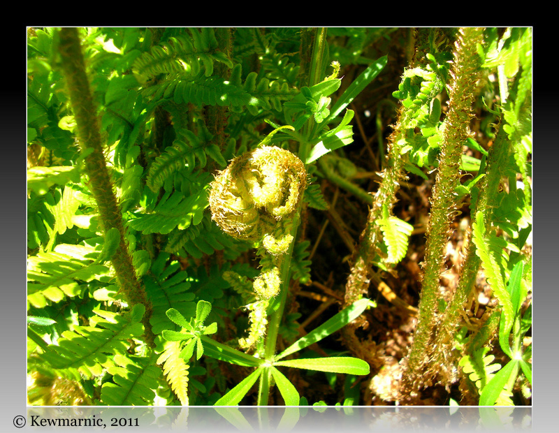The New Fern Frond Unfurls