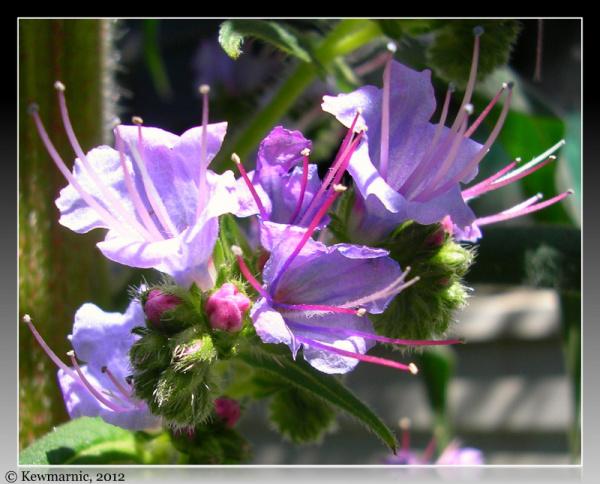 The Echium Flower