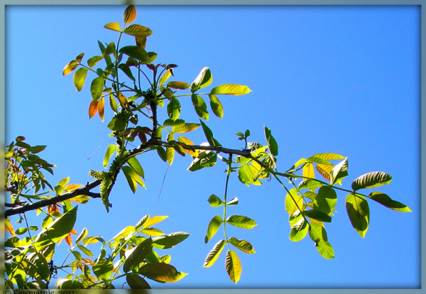 New Leaves On The Walnut Tree In The Spring