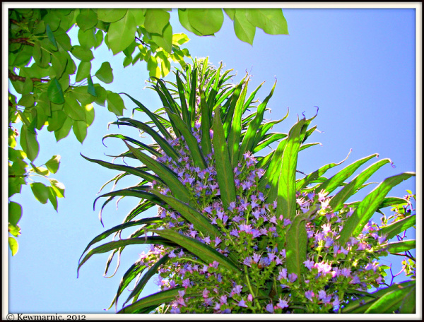The Echium Reaches For The Sky