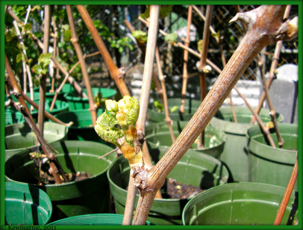 The New Grapevines Begin To Sprout