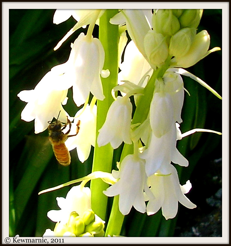 Bee On The Snowdrops