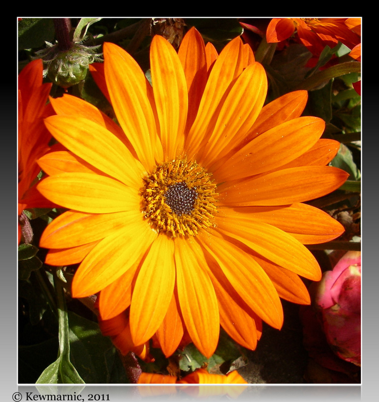 Orange Daisy In The Spring Sunshine