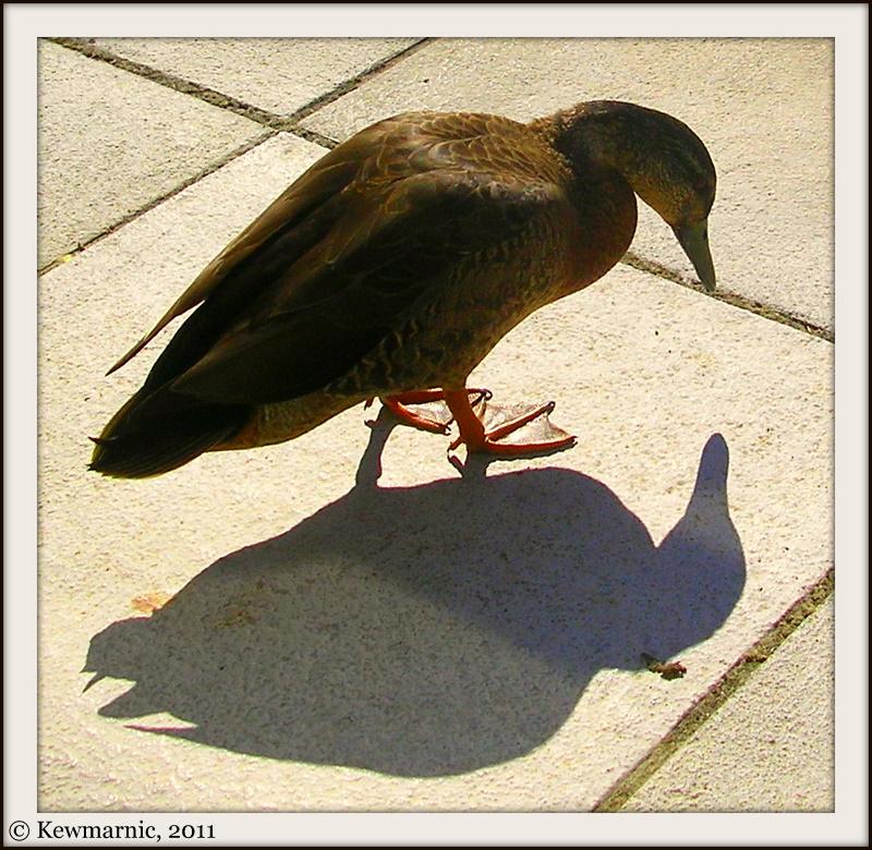 Sweet  Duck Examines Shadow