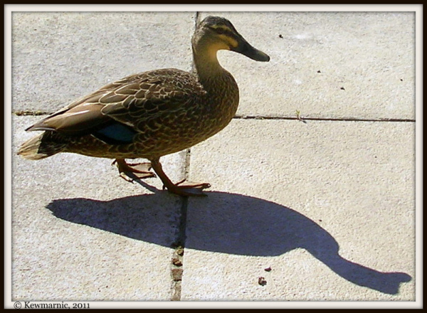 Duck With Shadow