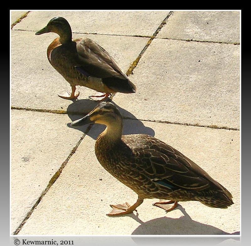 Passersby On The Garden Path - Wild Ducks