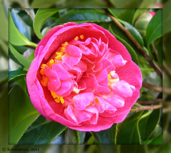 The Camelia Opens Her Heart