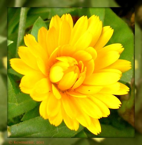 Little Golden Daisy