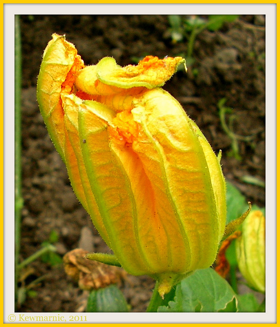 The Courgette In Bloom