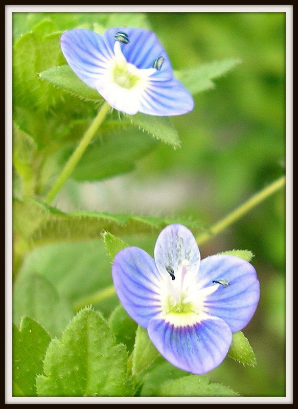 Tiny  Blue Weed Flowers