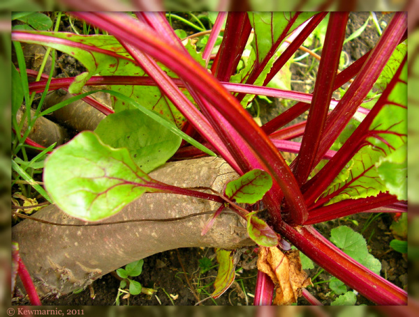 The Red Beet