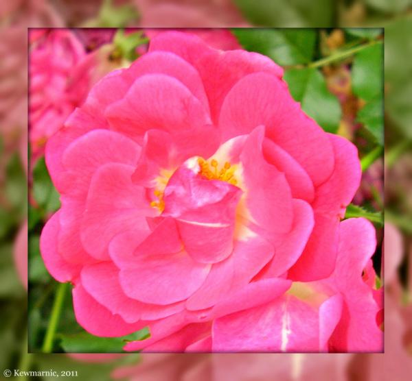 Dusky Red Rose