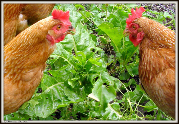 The Hens Peruse The Silver Beet