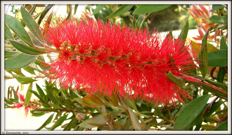 The Pohutakawa Flower