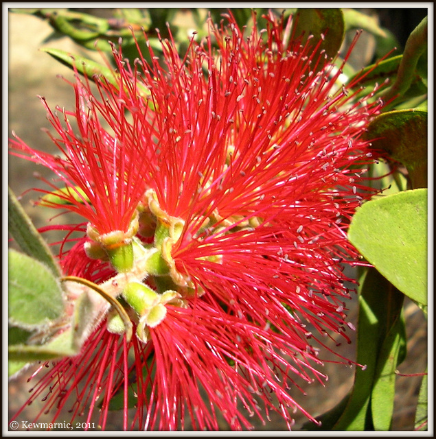 The Light Catches The Red Pohutakawa Flower