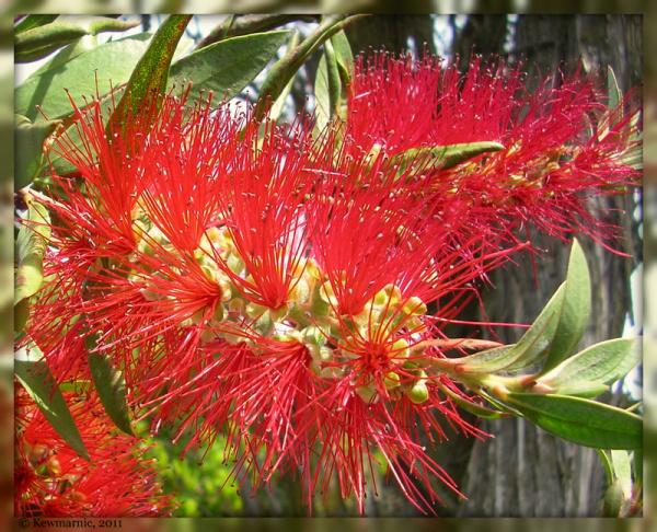 Pohutakawa Flowers,