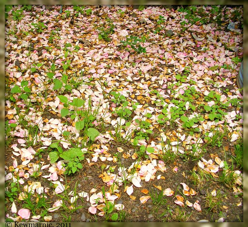 A Carpet Of Rose Petals