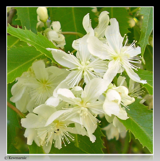 Pretty White Star Flower