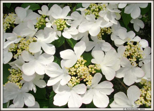Cascade of  White Petals