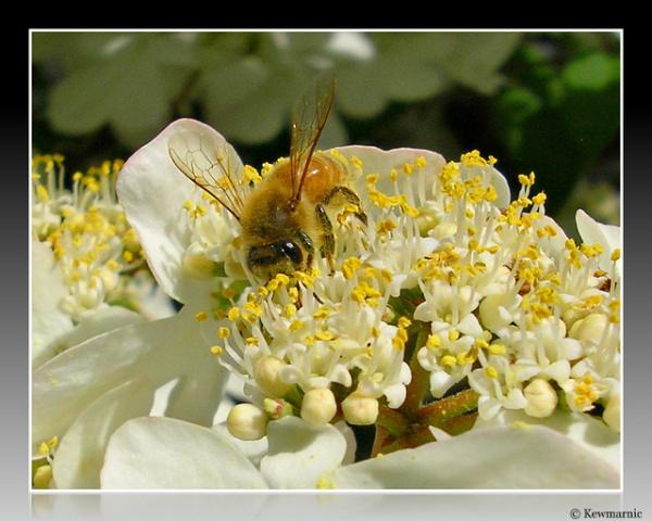 A Sweet HoneyBee On White Flowers