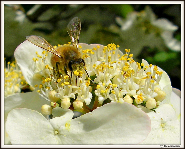 Bee On The White Flowers