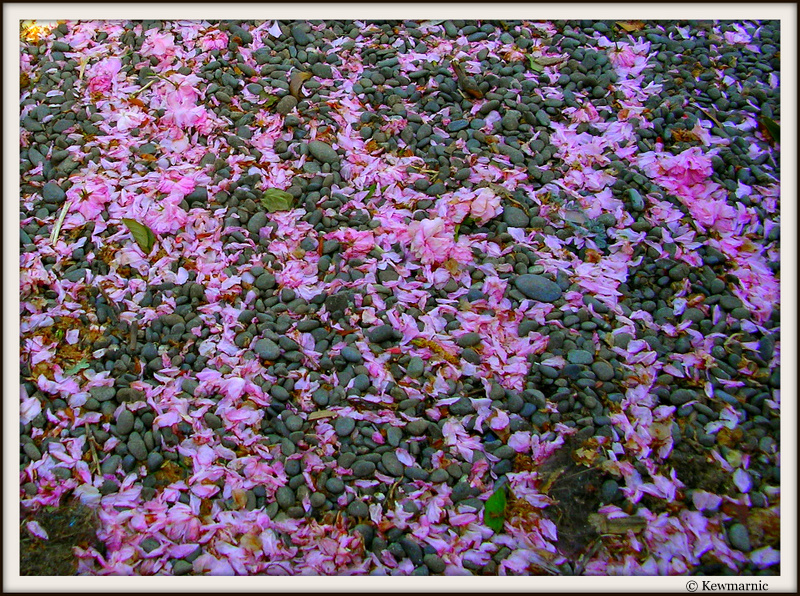 Pink Blossom Falls Amongst The Stones On The Path