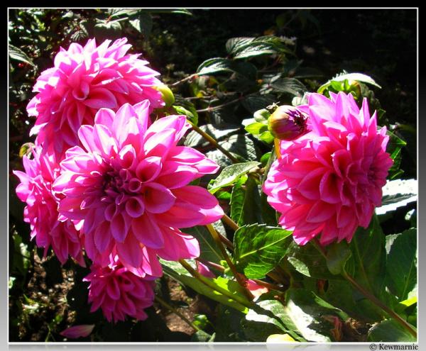 Sunshine On The Dahlias