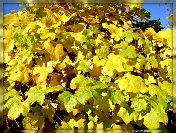 The Grapevine In Autumn
