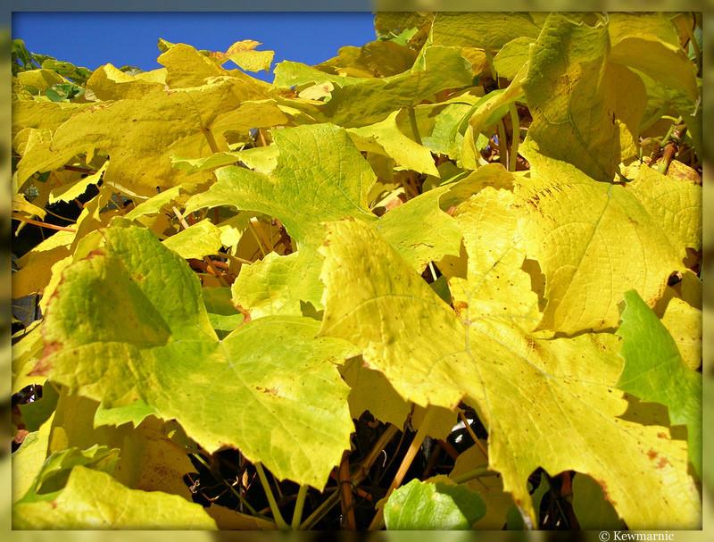 The Golden Leaves Of The Grape Vine