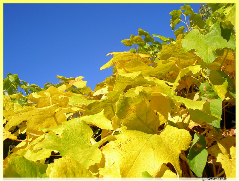 Golden Leaves On A Clear Blue Sky