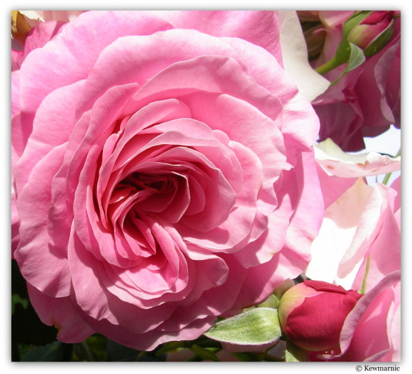 The Unfolding Of The Rose
