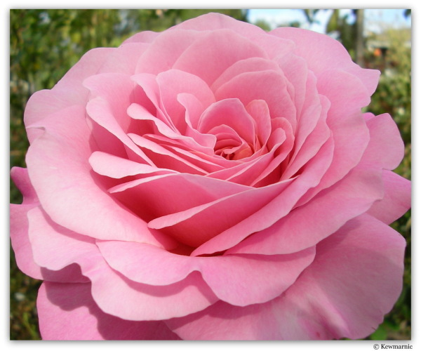 Voluptuous Pink Rose