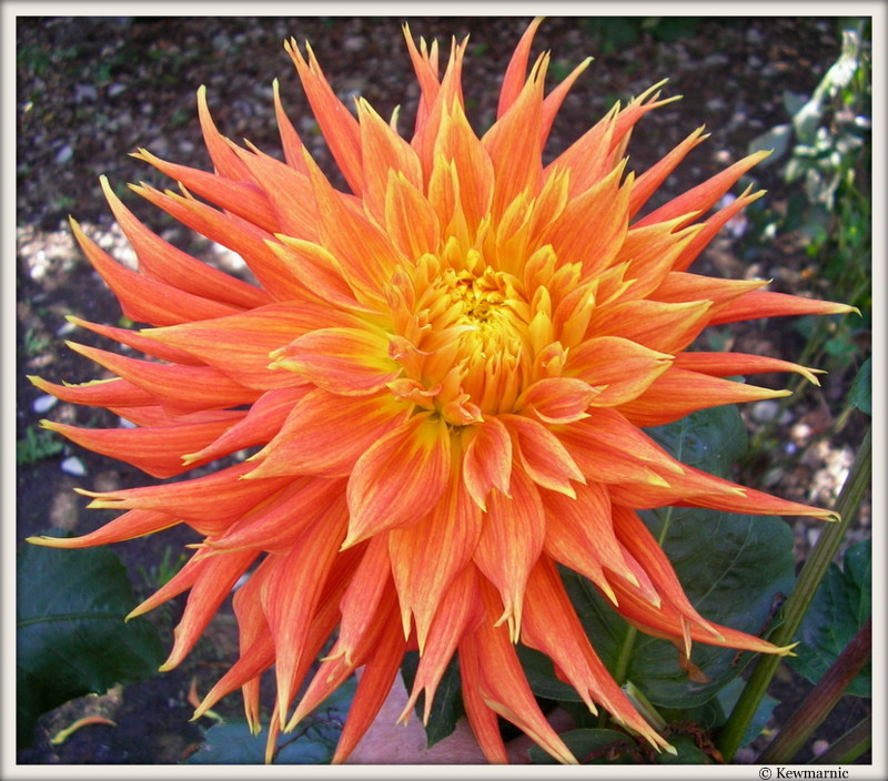 The Young Dahlia Spreads Her Wings