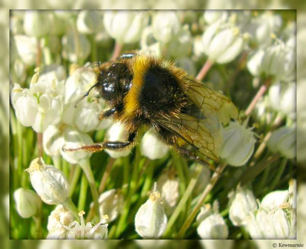 The Baby Bumblebee
